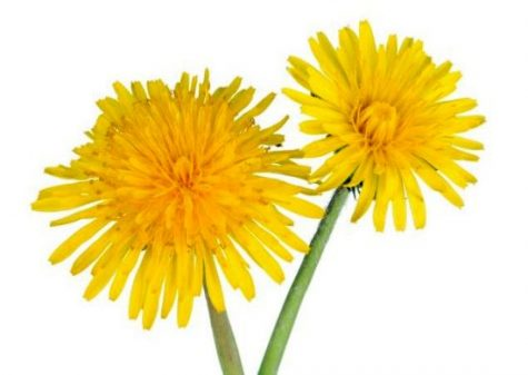 Super Food Spotlight: Why You Should Eat a Dandelion this Spring