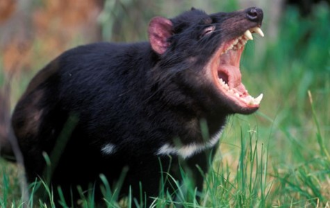 The Story of the Tasmanian Devil