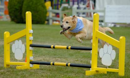 Agility dogs competition