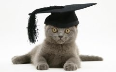 British Shorthair blue kitten, Taz, wearing a mortar board hat