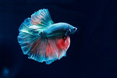 If you buy a betta fish, you're falling for capitalistic schemes